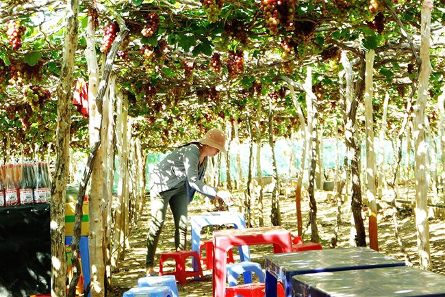 Vast vineyard in central Vietnam